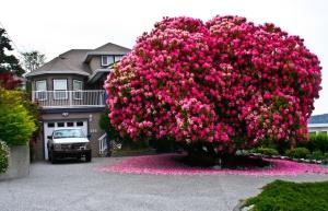 Árbol Rhododendron en Canadá